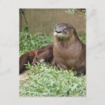 Cute Otter Postcard
