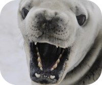 Sound Ideas, SEAL - SEAL BARKING, ANIMAL/Image Gallery ...
